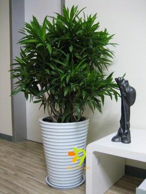 办公室盆栽植物_大型室内植物_深圳市仁爱园艺花卉有限公司